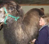 Booshay, a Bactrian camel