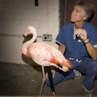 Ronk, Chilean flamingo