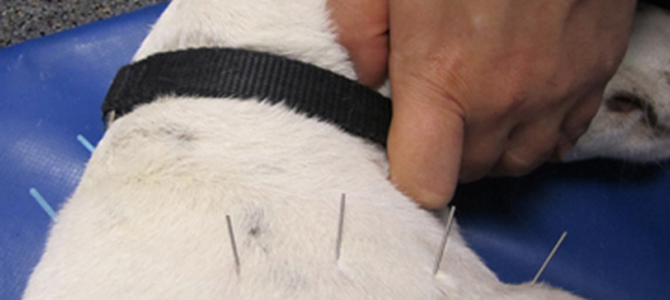 Using dry needling on a dog